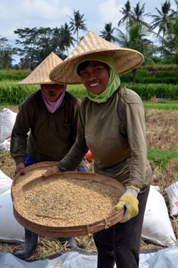 Travail dans les rizières à Bali © D. Raynal