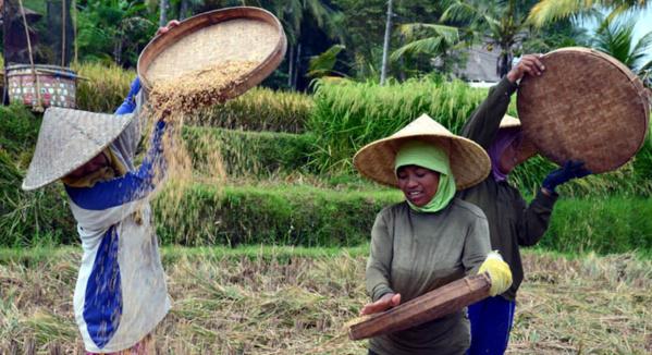 Récolte du riz à Bali - © D. Raynal