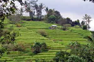 Rizière sur l'île de Bali - © D. Raynal