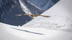 Aigles du Léman - © Christian Pfahl