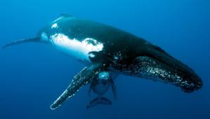Les baleines viennent pour se reproduire et donner naissance à leurs baleineaux - ©  Eric Lamblin