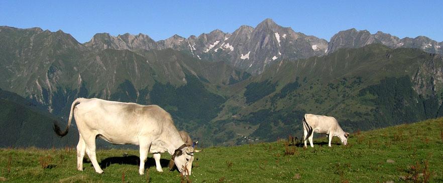 Vaches gasconnes et le Mont Valier - OT Haut Couserans ADT09