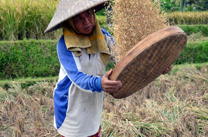 Travail dans les rizières sur l'île de Bali © D. Raynal