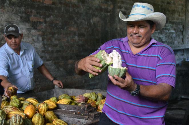 Cabosses et fèves de cacao - © D. Raynal
