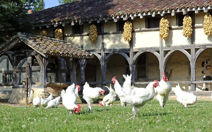 Poulardes en liberté picorant dans l'herbe devant le Musée des pays de Bresse - © Aline Périer