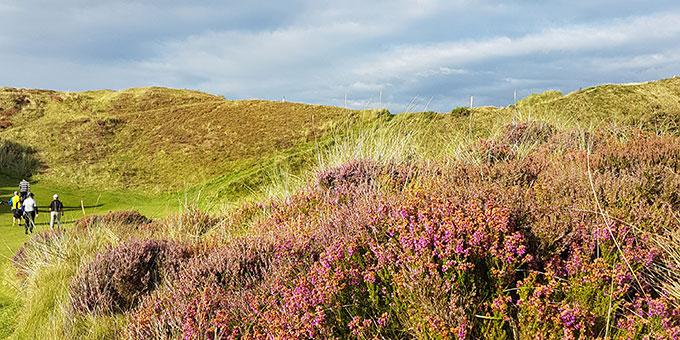 Les bruyères du Royal County Down - © T. Plassais - Swing-feminin.com