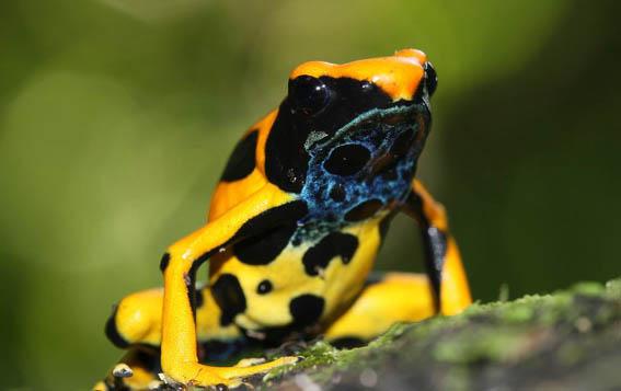 Dendrobates tinctorius, forme jaune - © V. Rufray - Biotope