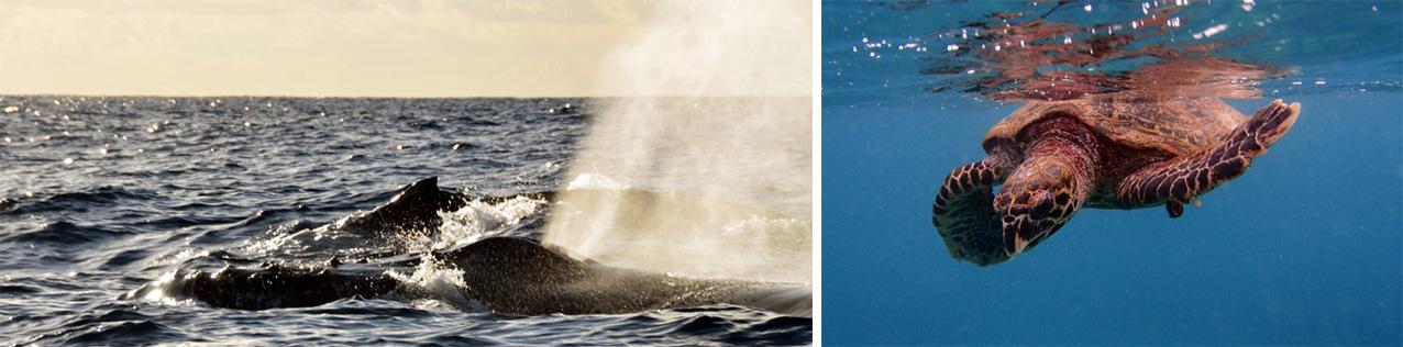 Retour inespéré des baleines et des tortues à La Réunion - © David Raynal
