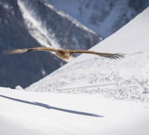 Skiez avec les aigles à Morzine